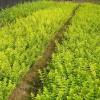 银川造林小苗,青枫,红枫,红叶石楠,紫薇,桂花,茶花